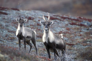 Cow and Calf Caribou